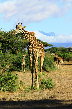 Giraffe and Babies eating, Foothills of Kilimanjaro, Tanzania,  East Africa