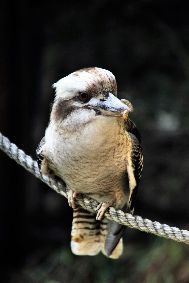 Kookaburra With Grub