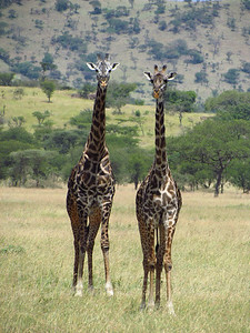 Two giraffes, Serengeti National Park, Tanzania, Africa