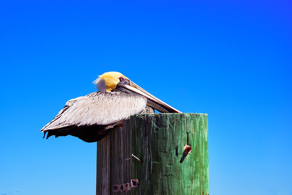 Restful Pelican