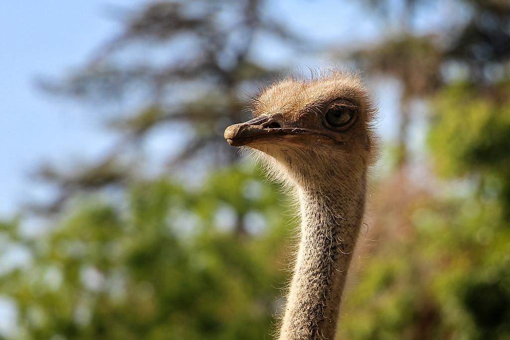 Fresno Chaffee Zoo - Ostrich