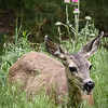 Mule Deer Doe and Thistle Plant