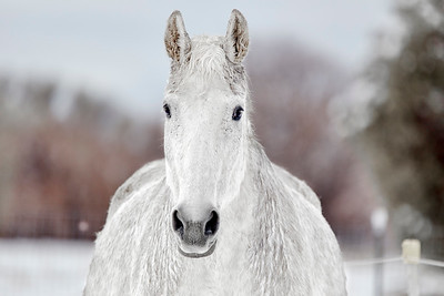 White Horse looking at the Camera