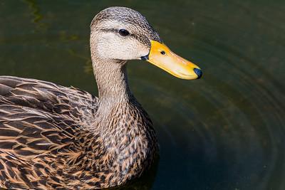 Florida Duck