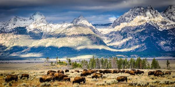 Teton Bison, Grazing