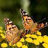 Two Map (Araschnia Levana) butterflies
