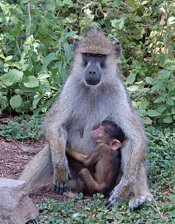 Nurturing, Amboseli National Reserve, Kenya