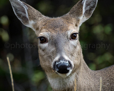 Inquisitive Mule Deer
