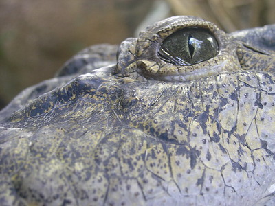 An aligator at the Ft Worth Zoo