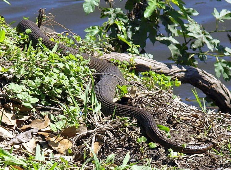Plain-bellied Water Snake #1 Body View