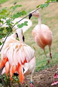 Flamingo Confrontation