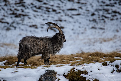 Mountain Goat, Findhorn Valley