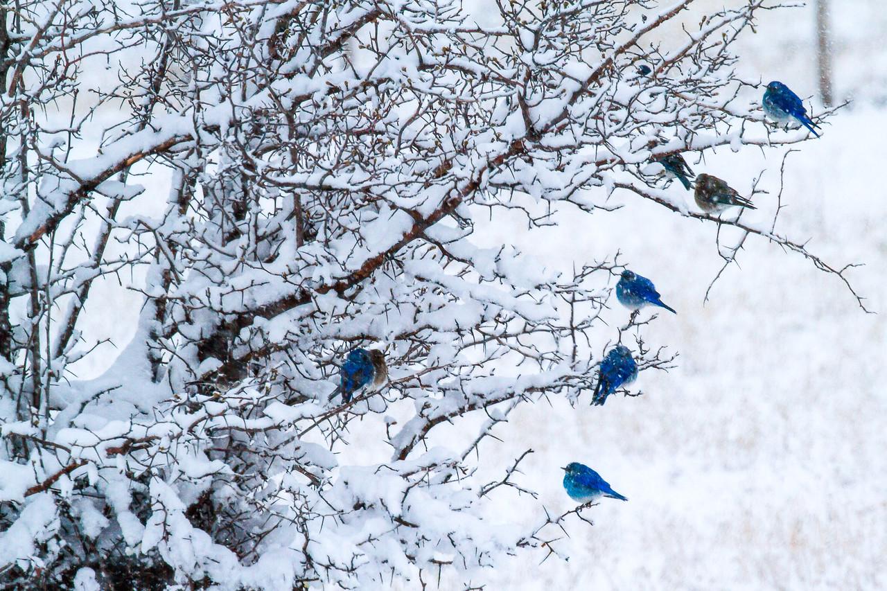 Blue Birds in Snow