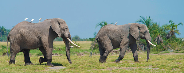 Elephants on the March, Amboseli National Reserve, Kenya