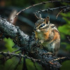 Chipmunk in Charge