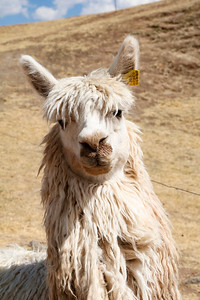 "The ""Cool Kid"" Llama"