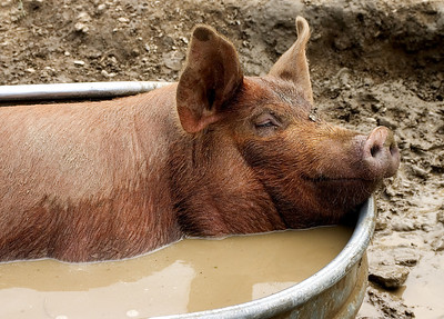 Pig cooling off in a tin bath full of water