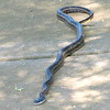 Western Rat Snake Looking For Love