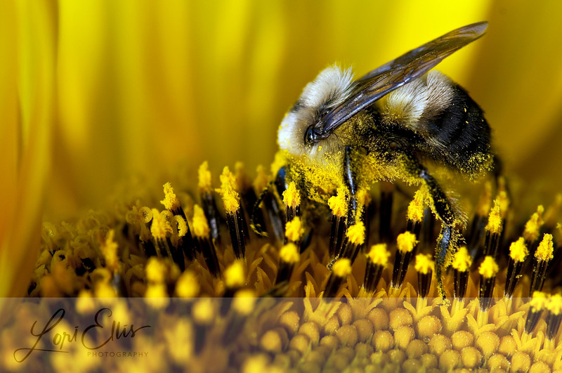 Bee Covered in Pollen on a Sunflower