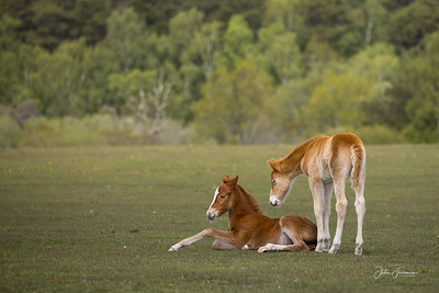New Forest foals, Hampshire
