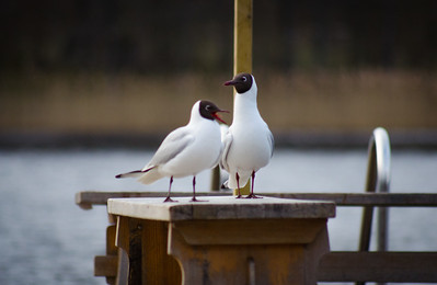 Two Gulls On A Bench