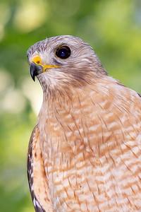 Red-shouldered Hawk - Male
