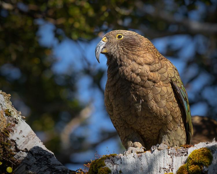 Curious Kea || Milford Sound