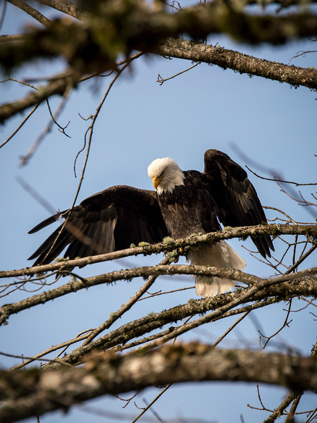 bald-eagle-nooksack-river