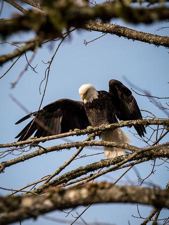 bald-eagle-nooksack-river