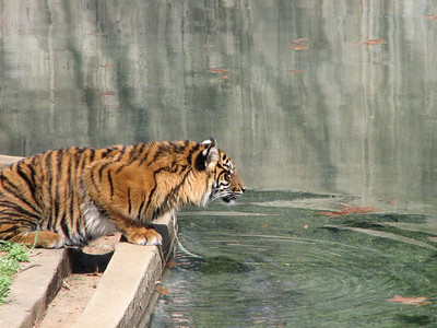 Tigers at the National Zoo