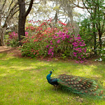 Beautiful Peacock in Blooming Garden.