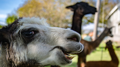A llama poses for a photo at the Manisses Animal Farm, Block Island Rhode Island.
