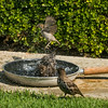 082816 Bird Bath - Salinas 004