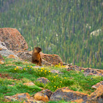 Yellow-bellied Marmot known as groundhog and woodchock on the meadow in the mountains, Rocky Mountain National Park,Colorado, USA.