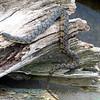 Diamondback Water Snake On Driftwood