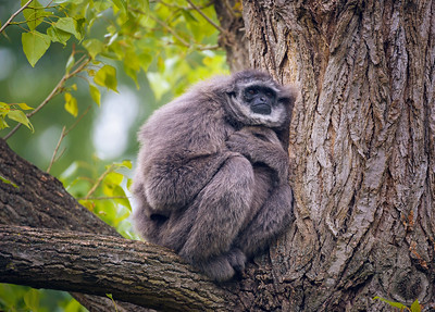 Silvery gibbon also known as Hylobates moloch sitting on a tree