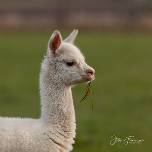 Alpaca, Suffolk