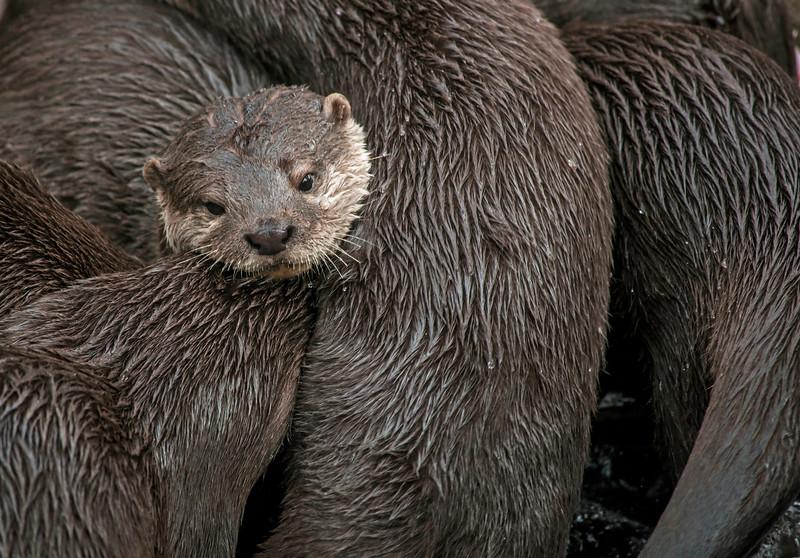 Asian Small-clawed Otters (Amblonyx cinereus)