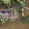 Red-eared Slider Mating Behavior 12