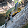 Did You Know Turtles Climb Trees?