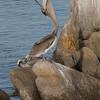 122217 Sea Life - Monterey Harbor - Monterey 044 4x6P