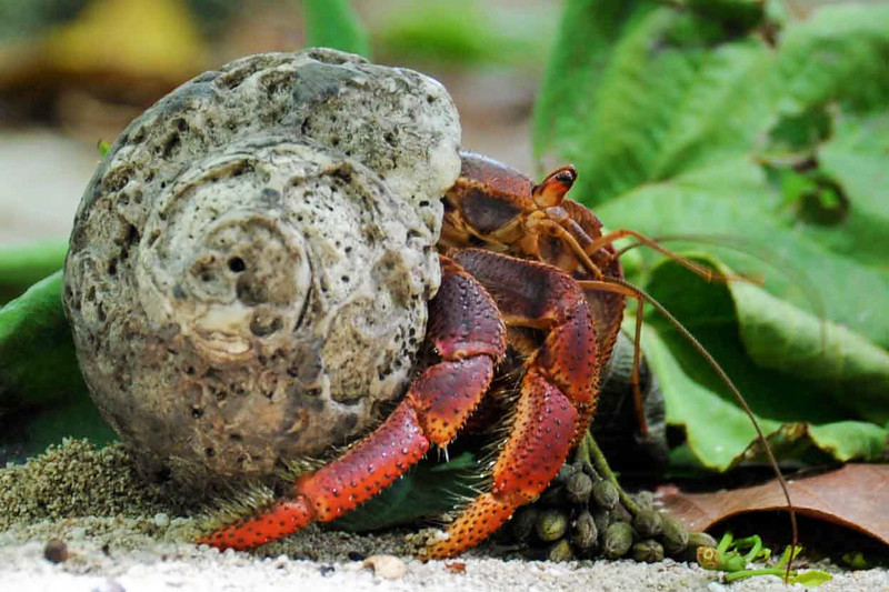 Land crab- Turks and Caicos
