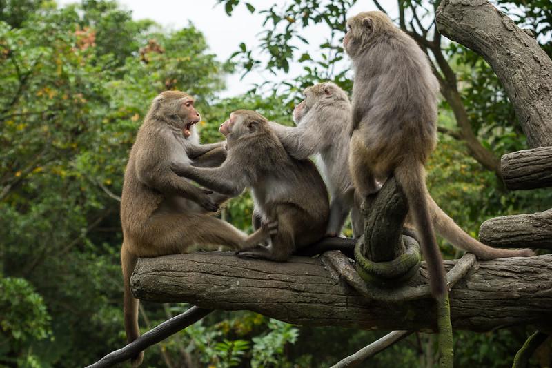 Formosan rock macaques