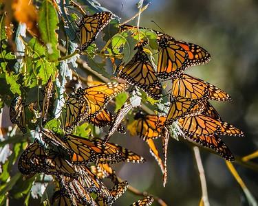 Hibernating Monarch Butterflies