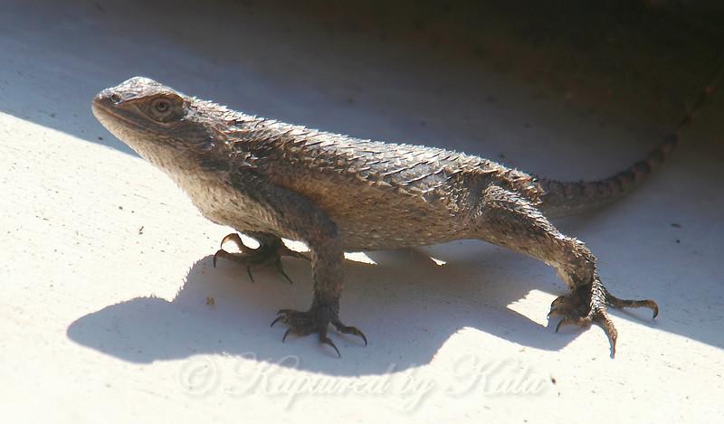 Male Texas Spiny Lizard