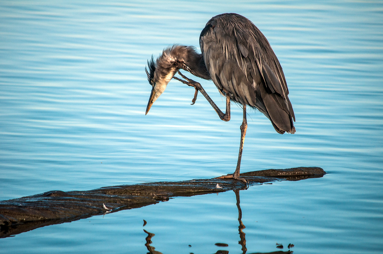 Great Blue Heron (Ardea herodias) rubs oil into its feathers to repel water