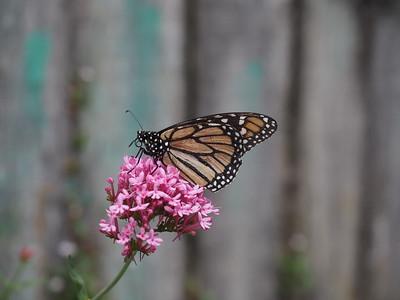 Aged Monarch