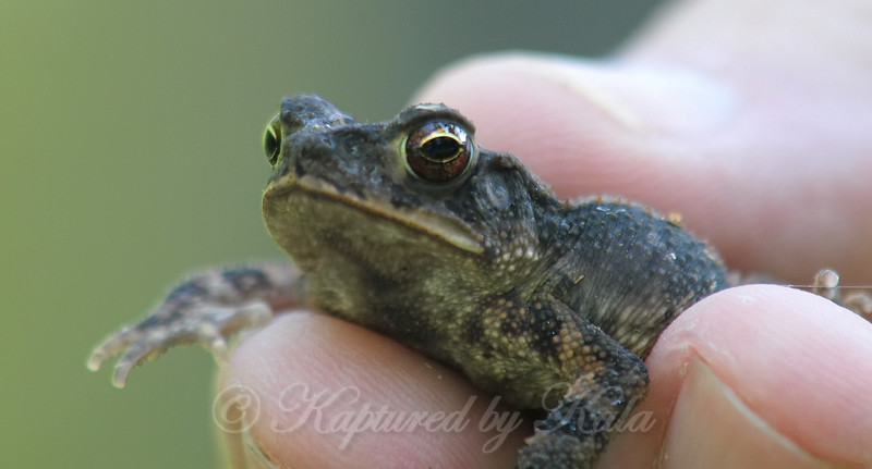 Just A Wee Little Toad