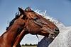 Horses sharing Hay