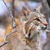 Beautiful Bobcat Face